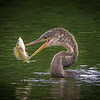 Anhinga with fish
