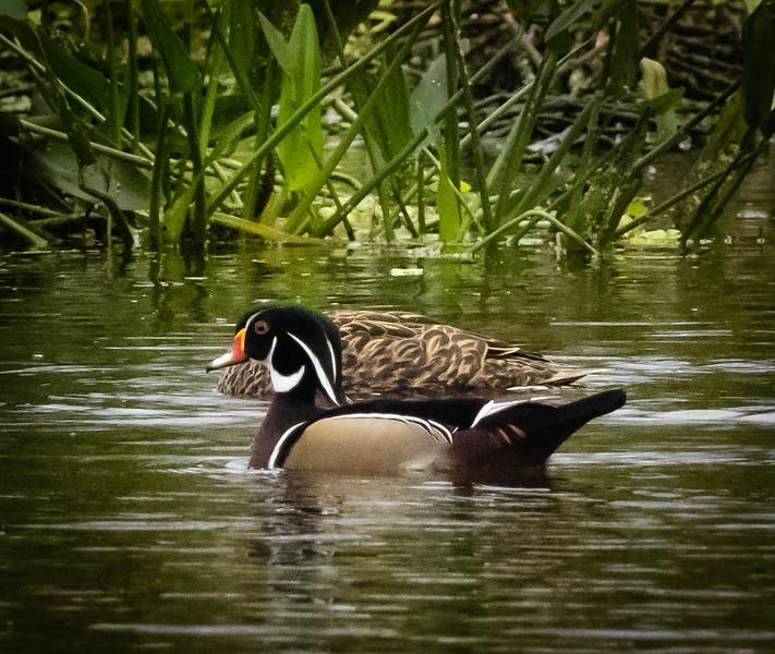 Wood Duck, Peaceful Waters