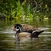 Wood Duck, Peaceful Waters