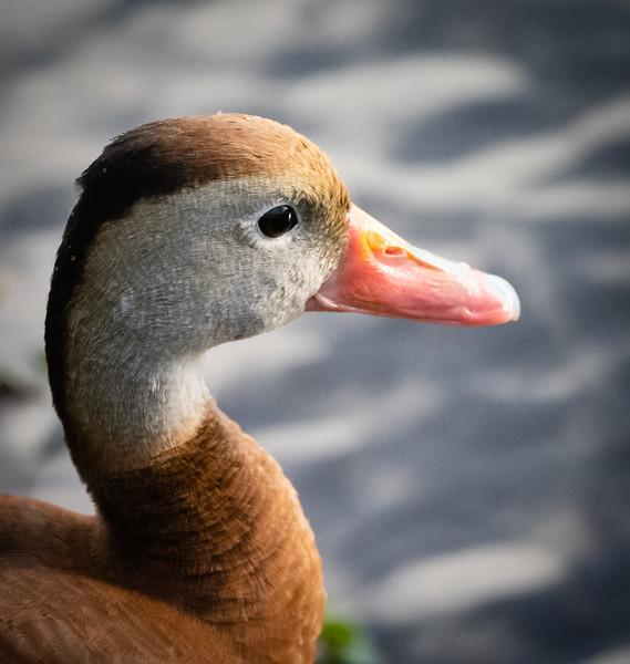 Whistling Duck, Wakodahatchee