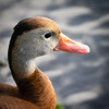 Whistling Duck, Wakodahatchee