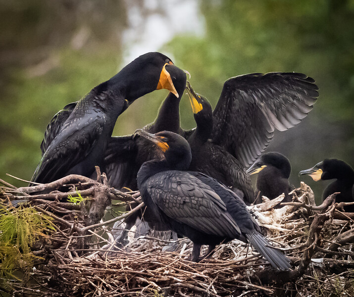 Cormorant feeding chicks, Wakodahatchee