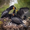 Cormorant feeding chicks, Wakodahatchee