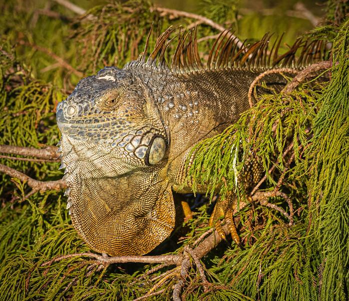 Iguana, Wakodahatchee