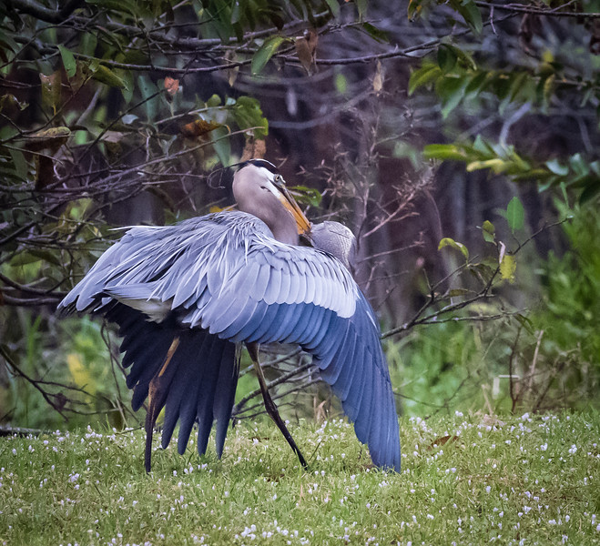 Blue Heron carrying his catch, Wakodahatchee Wetlands