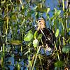 Wilson's Snipe, Wakodahatchee Wetlands
