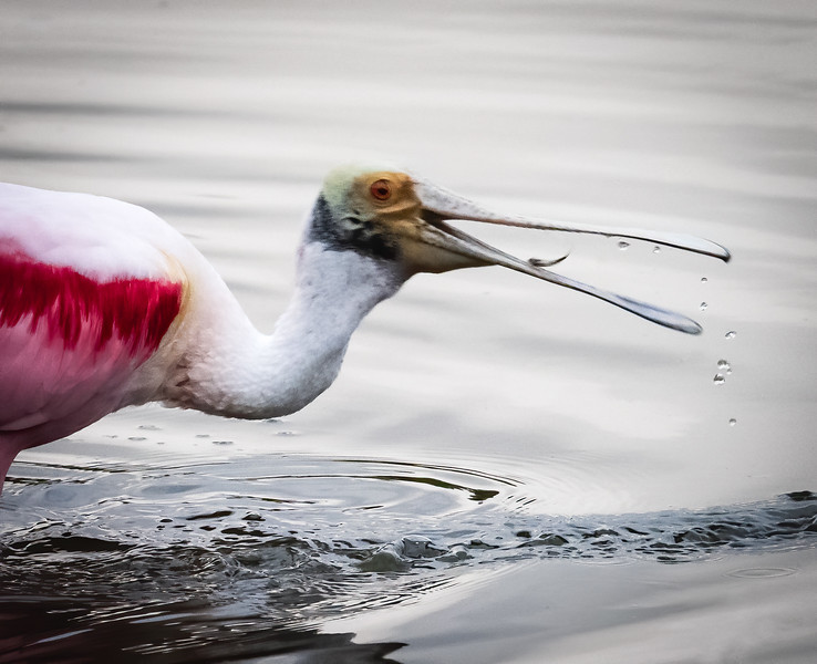 Spoonbill with catch, Peaceful Waters