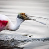 Spoonbill with small catch