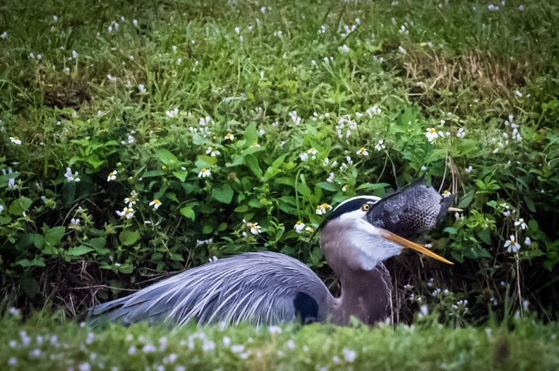 Blue Heron swallowing breakfast, Wakodahatchee