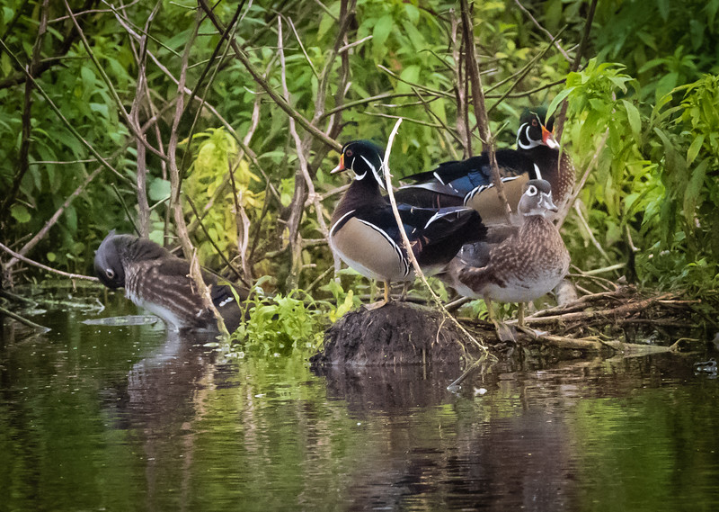 Wood Duck family, Peaaceful Waters