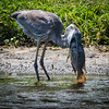 Blue Heron with too much Fish