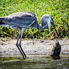 Great Blue meets fish, Boynton Beach