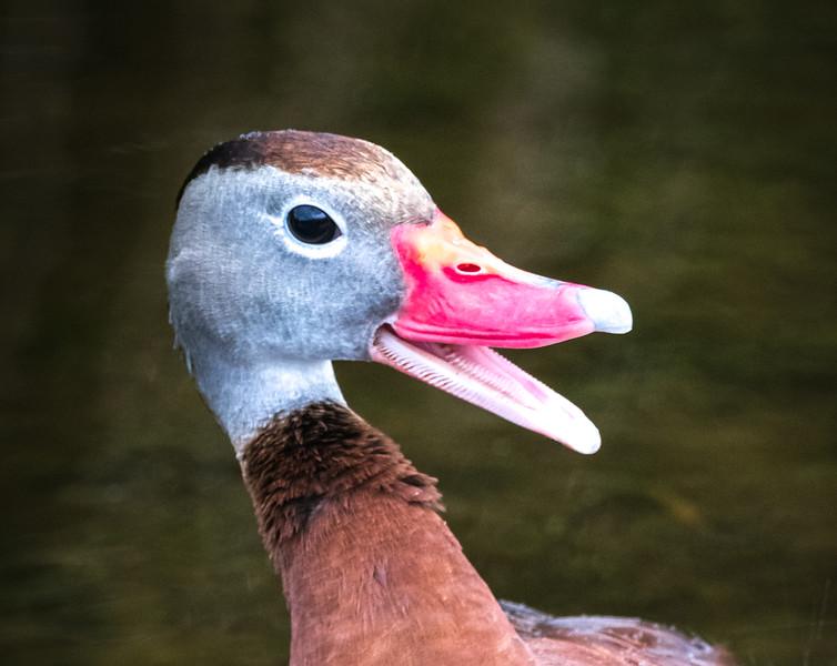 Black-bellied Whistling Duck, Wakodahatchee
