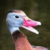 Whistling Duck Portrait
