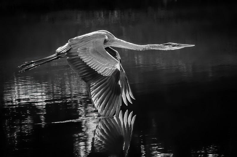 Heron at Dawn