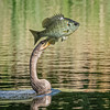 Anhinga with Fish,, Boynton Beach