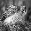 Red -Shouldered Hawk, Green Cay