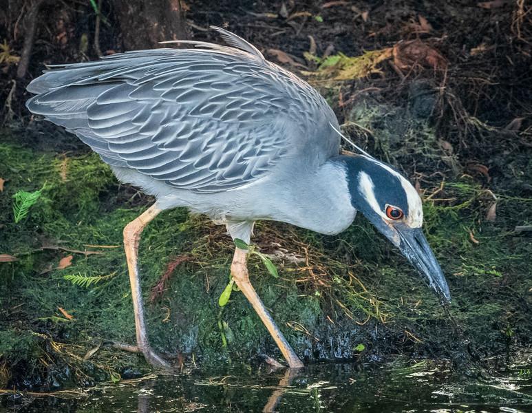 Yellow Crowned Night Heron, Green Cay
