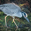 Yellow Crowned Night Heron, Green Cay