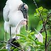 Woodstork with chicks, Wakodahatchee