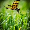 Dragonfly, Boynton Beach