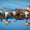 Mottled Duck with chicks, Pleasant Waters