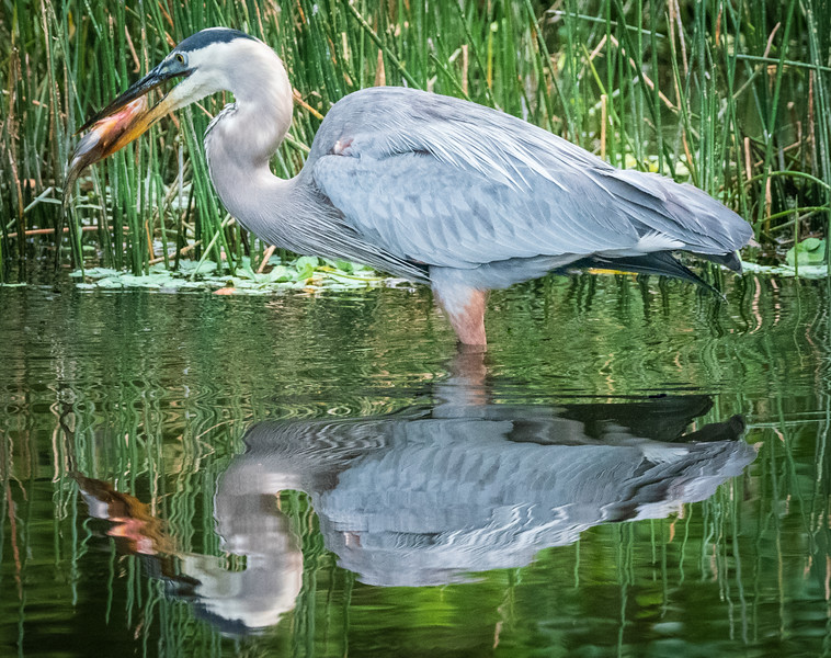 Great Blue Heron with catch, Wakodahatchee