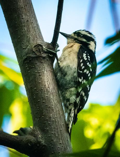 Downy Woodpecker, Green Cay