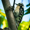 Downy Woodpecker, Green Cay