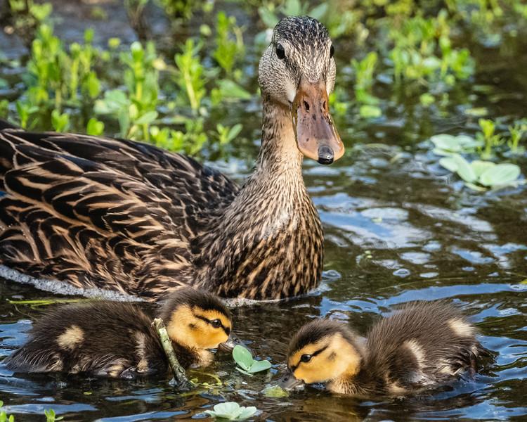 Mom  & Chicks