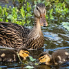 Mottled Duck with chicks, Green Cay