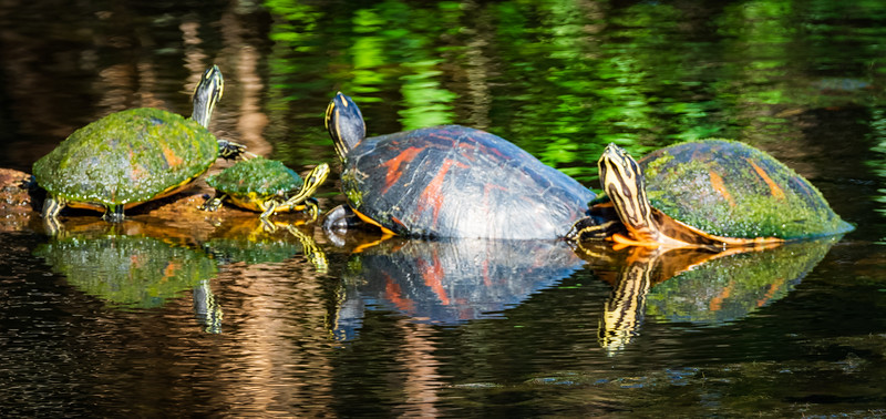 Turtles reflected, Green Cay