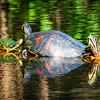 Turtles with Algae