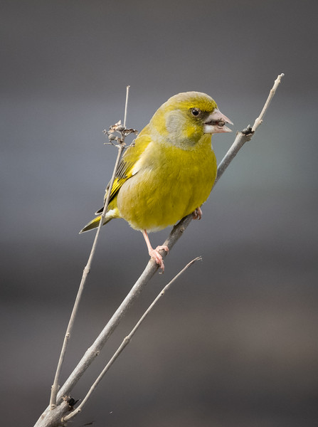 Greenfinch, Hula