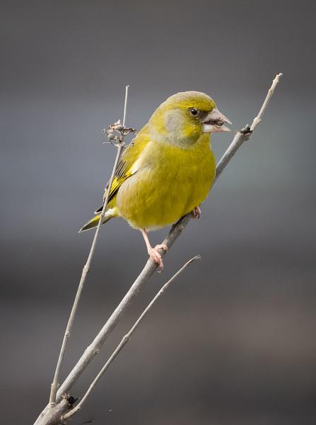 Greenfinch, Hula