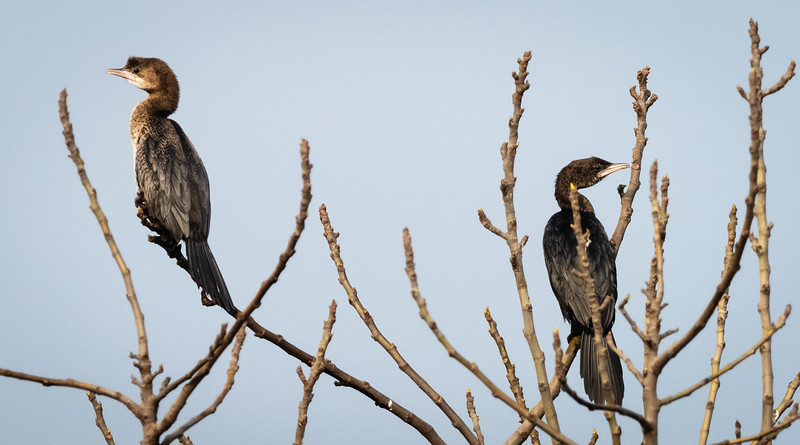 Pygmy Cormorants, Hula