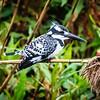 Pied Kingfisher, Hula