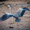 Grey Heron Landing, Hula