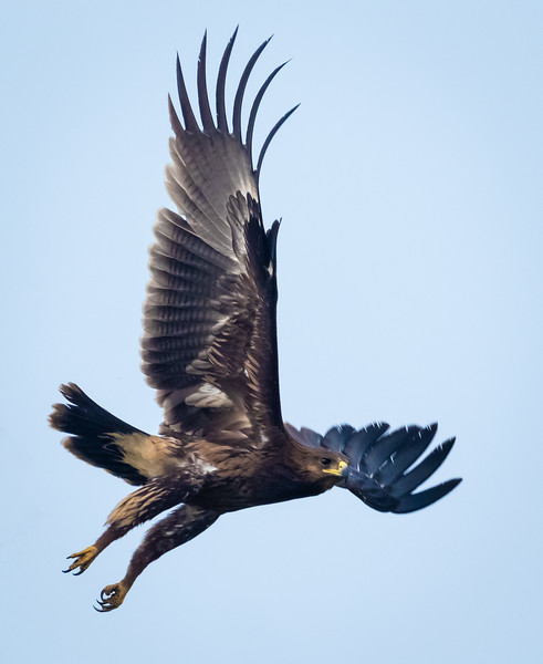 Spotted Eagle, Hula