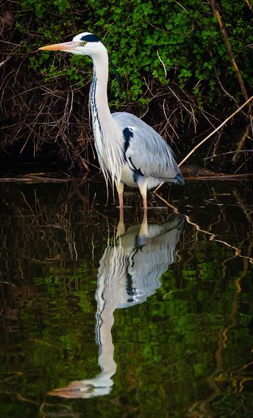 Grey Heron ( Adult), Hula