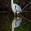 Grey Heron ( Adult), Hula