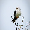 Black Shouldered Kite, Hula