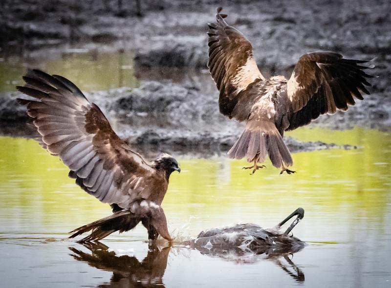 Marsh Harriers, Hula