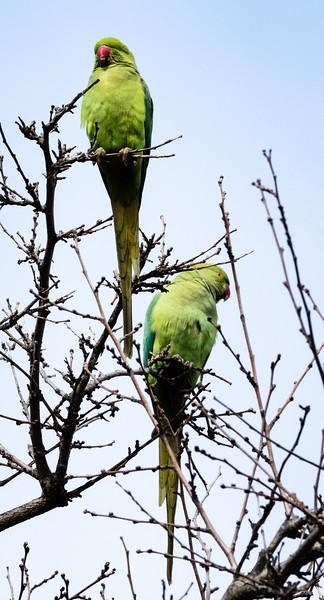 Rose-ringed Parakeets, Hagoshrim