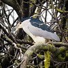 Black-crowned Night Heron, Hula