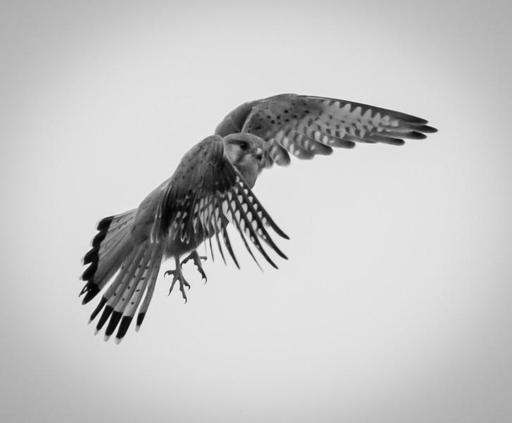 Kestral in Flight, Hula