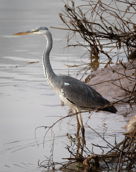 Grey Heron (Juvenile), Hula