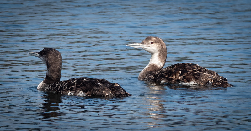 Common Loons, Bodega Harbor