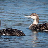 Common Loons, Bodega Harbor