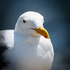 Western Gull, Bodega Bay